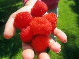 Sadnice malina jagoda Rubus illecebrosus