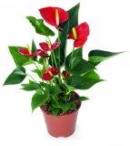 Biljka Anthurium