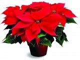 Božićna zvijezda 10 cm