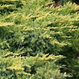 SADNICA JUNIPERUS MEDIA OLD GOLD